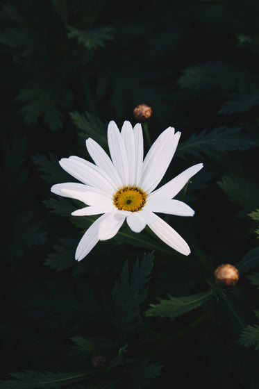 white daisy closeup in dark green