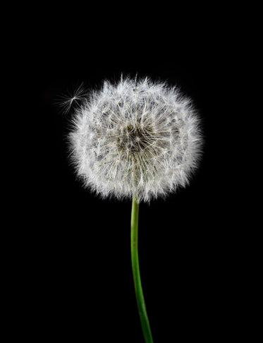 white dandelion with a green stem against black