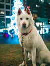 white dog sits patiently for the camera