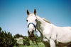 white horse with a blue bridle