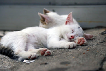 white kittens sleeping soundly on the concrete outside