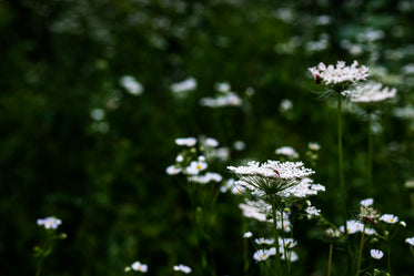 white queen annes lace against lush green foliage