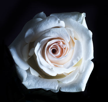 Picture of White Rose Close Up — Free Stock Photo