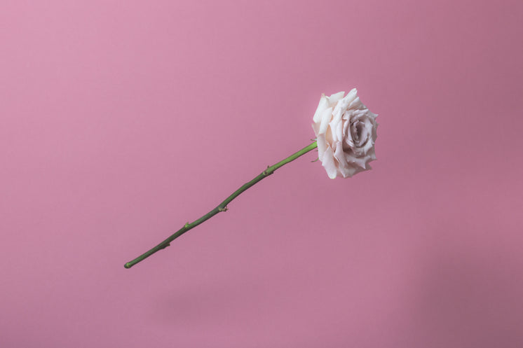 White Rose On Soft Pink