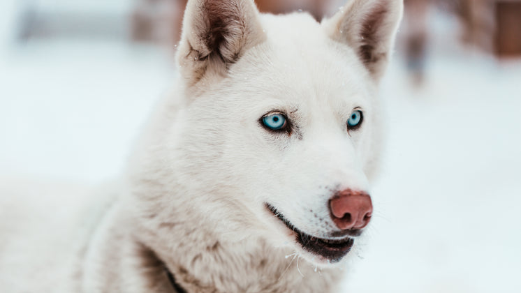 White Sled Dog With Piercing Blue Eyes