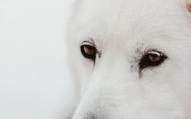 white sled dogs face camouflages with snowy backdrop