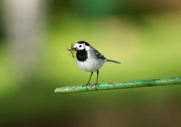 white wagtail catches an insect