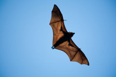 wide winged bat flies