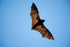 High Res Wide Winged Bat Flies Picture — Free Images