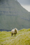 wind blown sheep stands in shadow of towering mountain