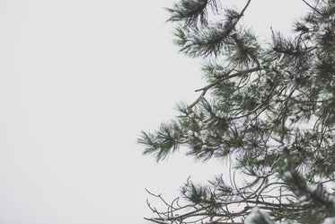 winter sky and pine tree