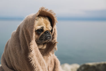 wise pug thinking about the world