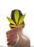 Browse Free HD Images of Woman Holding Pot Leaf With Shallow Depth Of Field