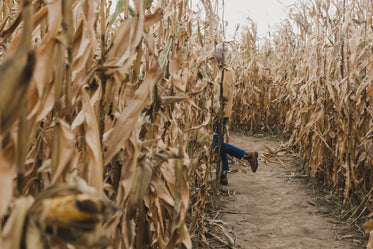 woman walks through cornfield