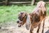 hd stock photography of goat