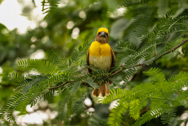 yellow bird sits in a green leafy tree and looks at camera