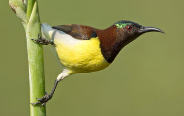 yellow-breasted sunbird on green stalk
