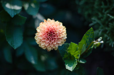 yellow dahlia with a pink center in perfect focus