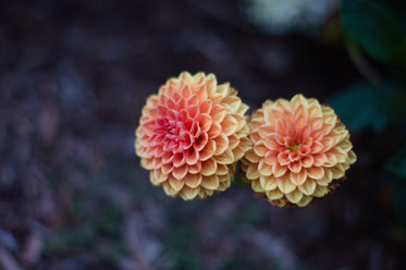 yellow dahlias with pink centers with green background