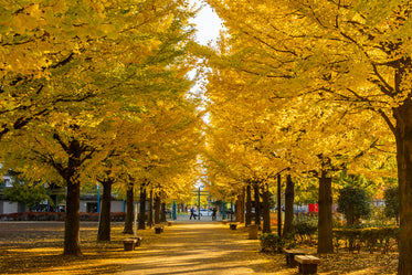 yellow fall leaves in city park