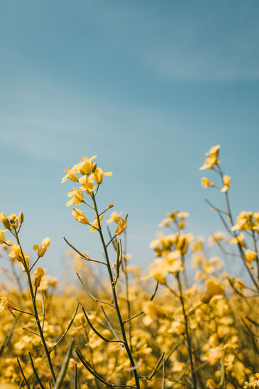 yellow flowers reach to blue sky