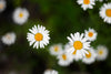yellow-hearted daisies with crisp white petals