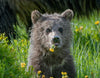 young bear eating dandelions sitting in green grass