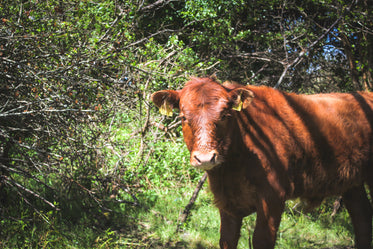 young red cow standing in green pasture filled with trees
